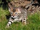 Bengálské kotě při průzkumu zahrady