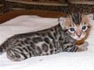 Bengálské kotě pár týdnů po narození