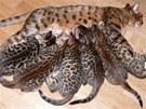 Kojení. Bengálská kočka s koťaty