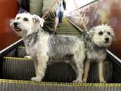 Středně velcí a velcí psi se naučí jezdit i na eskalátorech.