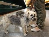 V MHD pes potřebuje jízdenku, vodítko a náhubek.