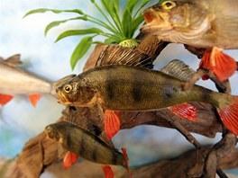 Na výstavě najdete i vypreparované sladkovodní ryby.
