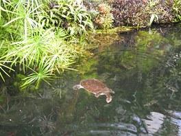 Jezírko v botanickém skleníku je dostatečně velké, takže nový přírůstek má