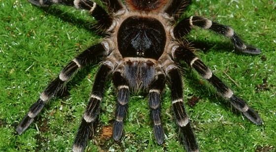 Acanthoscurria je atraktivní, ale zbrklý ažravý pavouk. Tělo měří až 10 cm.