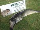 David Walker, majitel rybníka v anglickém Suffolku, našel štiku ležet na