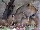 Lvice Abi je zkušená matka. Na snímku s předloňskými lvíčaty