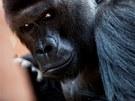 Gorilí samec Richard slaví 9. listopadu dvacáté narozeniny. Chovatelé mu ale