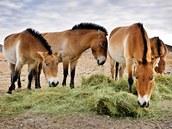 Pražstí koně Převalského, vypuštění do svého přirozeného prostředí v mongolské stepi. Po třech měsících se koním změnil krmný plán. Čerstvé seno koně dostávají až v pozdním odpoledni, aby je jedli až do večera a v průběhu noci. Tato změna souvisí s příchodem velmi chladných nocí, kdy koně hřeje činný trávicí systém. Zleva Kordula, Cassovia, Lima a Bo.