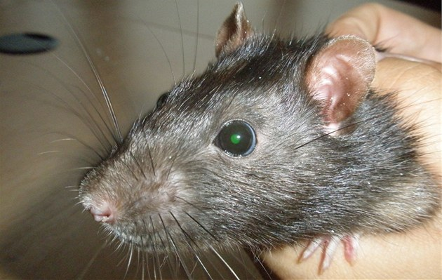 Geneticky modifikovaní potkani s vlo�eným genem pro zelený fluorescen�ní...