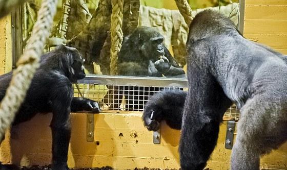 Moja (uprostřed) v kontaktu s ostatními gorilami (Cabárceno, 29.11.2011)