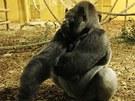 Gorilí samec Nicky je tak trochu tlusťoch.