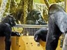 Moja (uprostřed) v kontaktu s ostatními gorilami (Cabárceno, 29. 11. 2011)