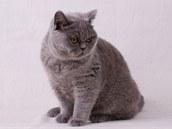 Odrostlé kotě britské modré kočky