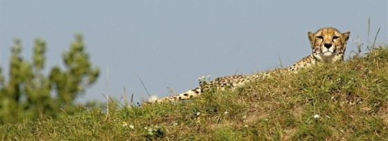 Dva noví mladí gepardi se na Nový rok představí na pahorku vedle Pavilonu