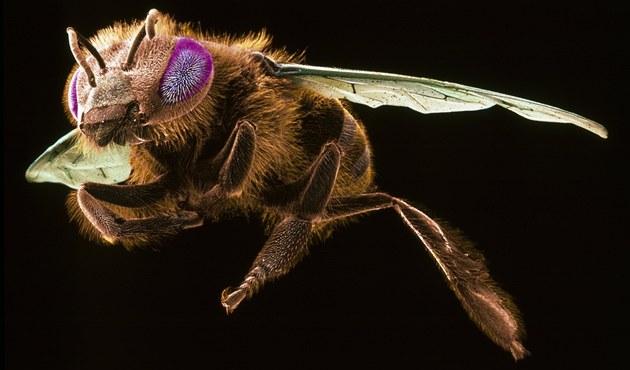 Včely napadené parazitující muškou jsou absolutně  dezorientované, snaží se jen