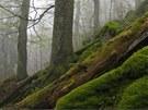 Prales Medvědice v lokalitě šumavského Stožce, jak ho zachytila Pavla Čížková.