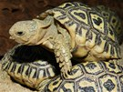Mláďata želvy pardálí, která v dospělosti dorůstá až 70 centimetrů.