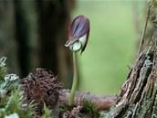 Semenáček buku lesního. Autorem snímku z května 2007 je Marek Drha.