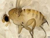Muška Apocephalus borealis