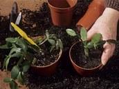 Pomocí řízků se dobře množí i vánoční kaktus.