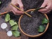 Každý řízek kamélie ponořte do práškového růstového stimulátoru, zapíchněte do