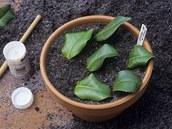 Čerstvě zapíchané řízky kamélie, oblíbené pokojové rostliny pocházející z