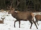 Z pozorovatelny na Srní může v zimě pozorovat jeleny po předchozím objednání