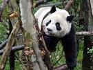 """Panda hrající si v """"Pandím údolí"""", tedy v rezervaci zřízené pro pandy  v"""