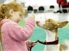 Čtyřletá Simonka si svoji fenku ibizského podenga Bunny cvičí i předvádí sama.