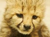Mládě geparda, které se snaží zachránit v Zoo Dvůr Králové nad Labem.