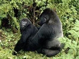 Pár goril horských v oblasti výzkumné stanice Karisoke v pohoří Virunga ve