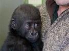 Devítiměsíční gorilí sameček Okanda v náručí svého britského ošetřovatele Johna