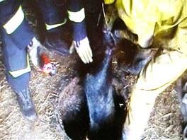 Dvanáct prasat vytahovali hasiči z jímky při záchranné akci v Ostroměři na