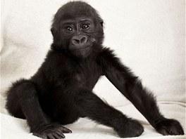 Jen o půl roku starší vrstevník, gorilí sameček Okanda, se kterým bude vyrůstat