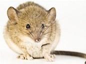 Vědci zjistili, že kromě obvyklého pištění vydávají samci myší i zvuky na