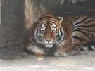 Tygr ussurijsk� ne sn�hu v zoo Dv�r Kr�lov� nad Labem (8. �nora 2012)
