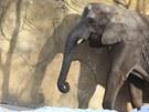 Sloni si u��vaj� sn�hu v zoo Dv�r Kr�lov� nad Labem (8. �nora 2012)