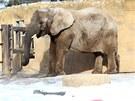 Slon si u��v� sn�hu v zoo Dv�r Kr�lov� nad Labem (8. �nora 2012)