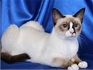 Snowshoe je štíhlá elegantní kočka nádherného exteriéru.