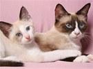Sealová (typ zbarvení) kočka plemene snowshoe - SC (Supreme Champion) Oksana