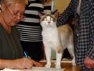 Snowshoe je sebevědomá kočka, kterou nerozhází ani posuzování na výstavě. Na