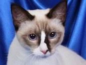 Snowshoe je štíhlá elegantní kočka nádherného exteriéru. Kocour Salviato se