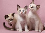 Koťata plemene snowshoe