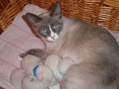 Koťátka snowshoe se rodí bílá, takže řadu týdnů chovatel neví, jak bude které