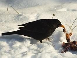 Zvláště zpěvní ptáci potřebují po celou zimu každý den najít dost potravy.