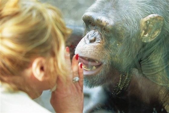 """Šimpanzi se prostě """"opičí"""", což často předvádějí i návštěvníkům zoo. Učí se..."""