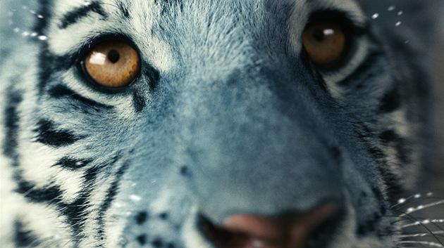 Z filmu Modrý tygr