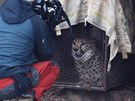 Transport gepard� ze zoo Dv�r Kr�lov� nad Labem