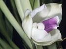 Květ orchideje (Pescatoria wallisii) z tropického deštného pralesa v západním