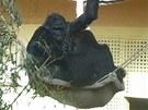 Moja v houpačce se svojí mladší březí kamarádkou, samičkou Chelewou.